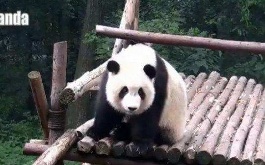 微信动物熊猫头像