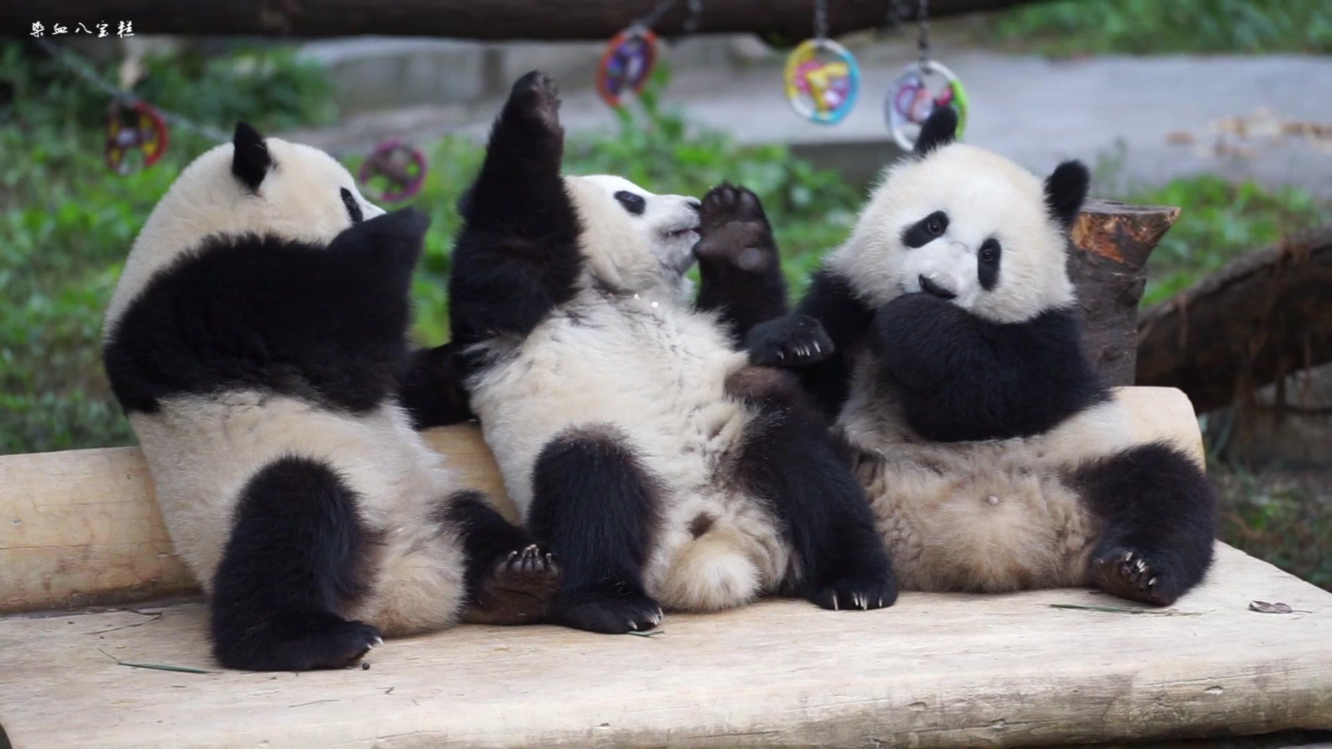 壁纸大熊猫动物1920_1080
