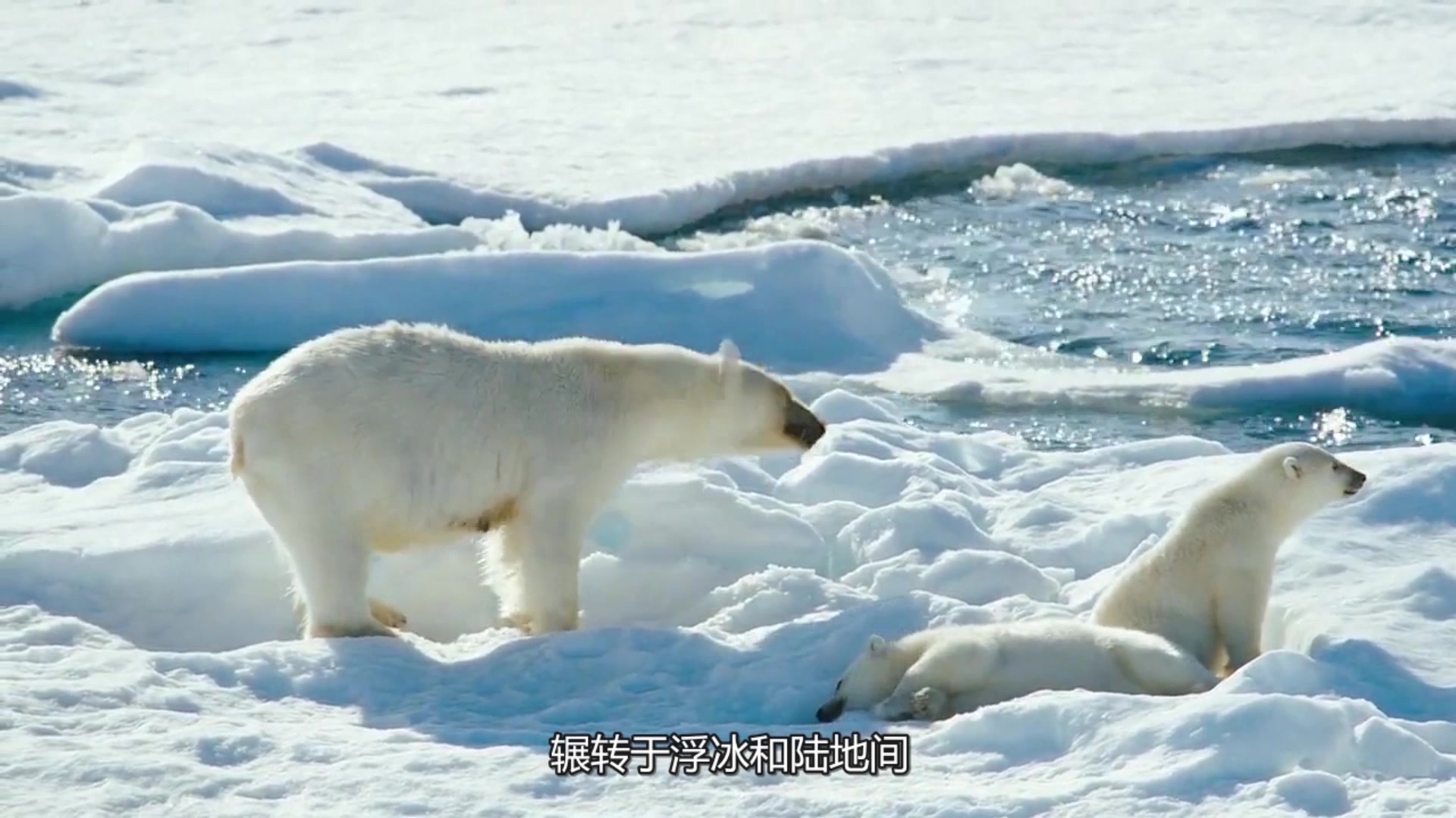 动物上最大的鸽子食肉陆地北极熊小区内可以养世界图片