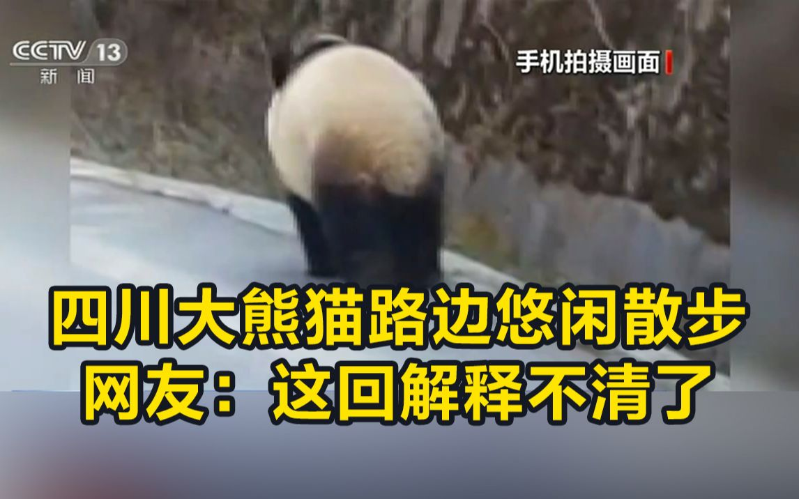 四川大熊猫路边悠闲散步 网友:这回解释不清了