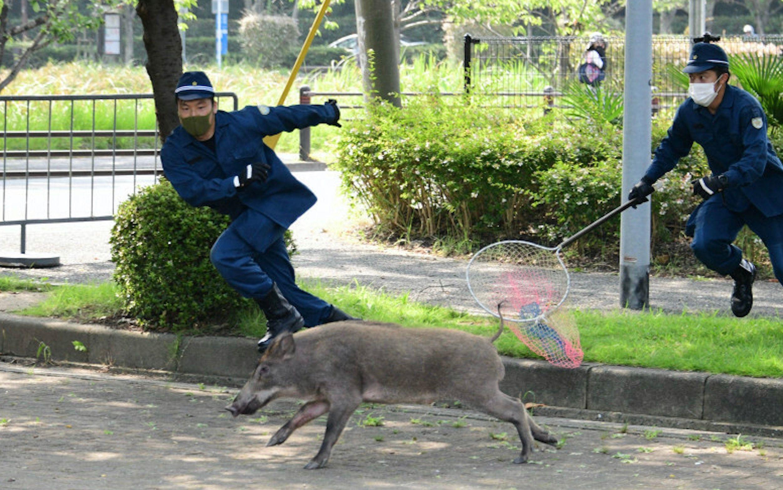 美国驻福冈领事馆附近 日本警察耗时6小时抓捕野猪