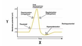 动作电位的定义和原理_静息电位和动作电位图