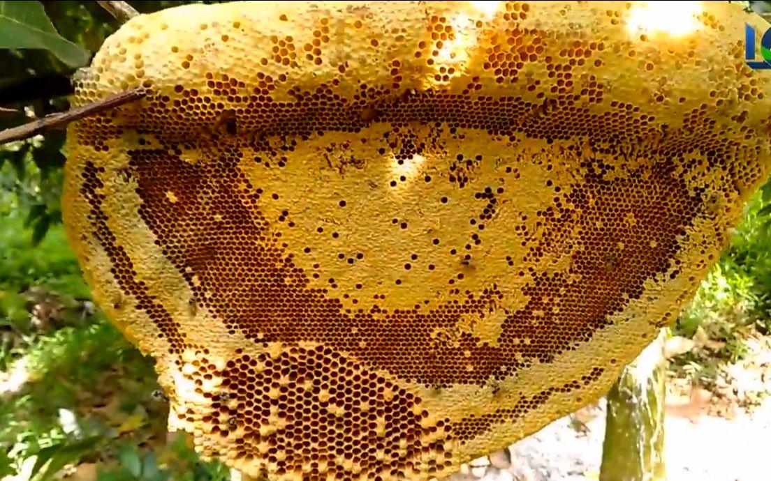 在芒果树上收获大蜂蜜