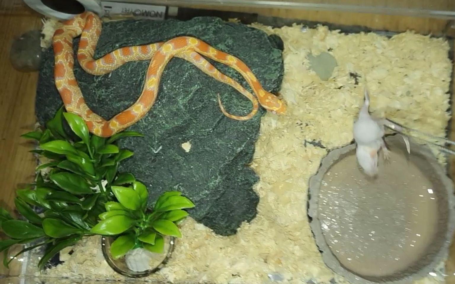 爱剪辑-小玉米蛇飞扑缠绕喂食图片