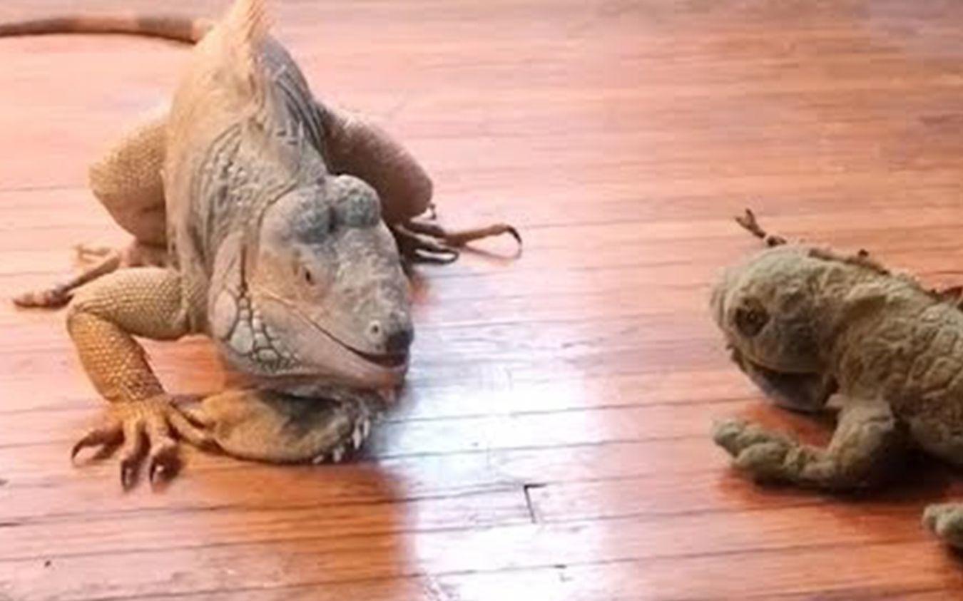 超凶的鬣蜥,攻击力惊人 - 每日药闻@柚子木字幕组