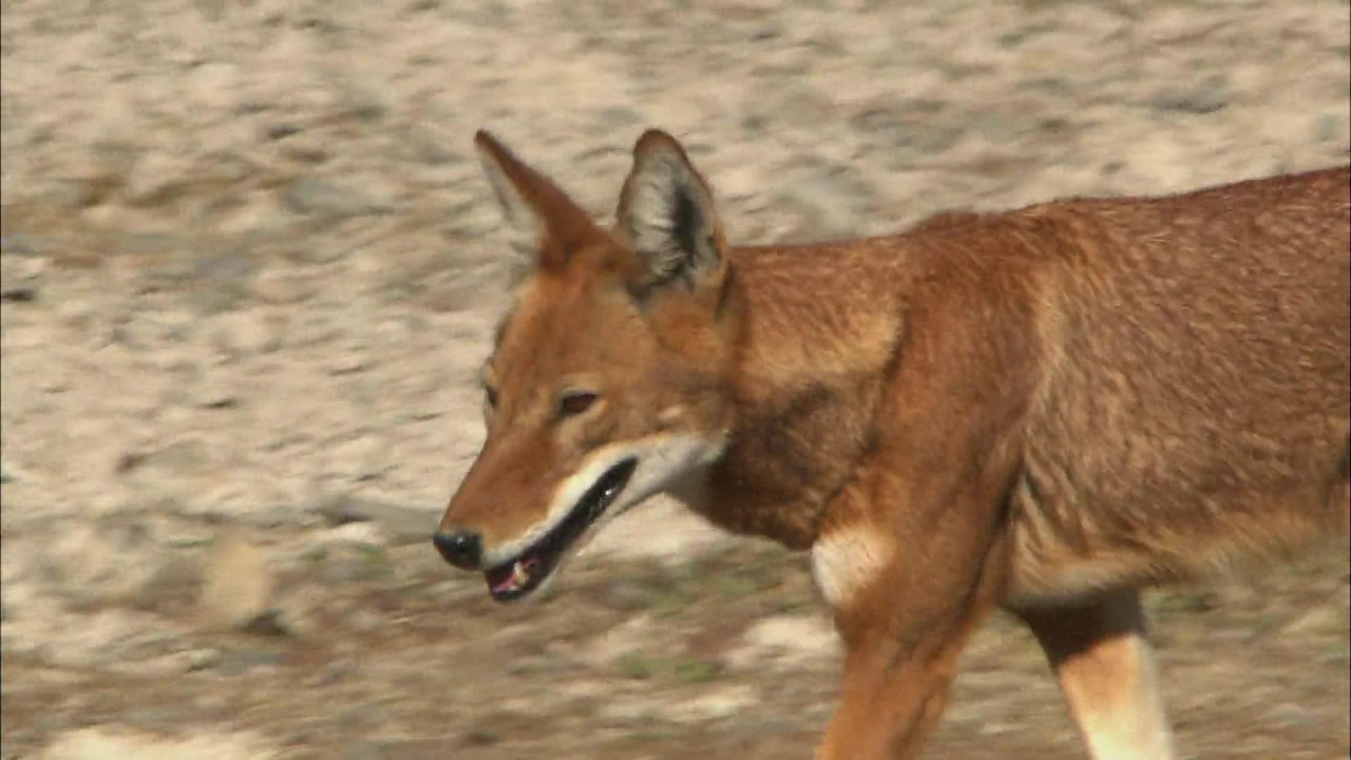 捕鼠高手的乐土 埃塞俄比亚狼