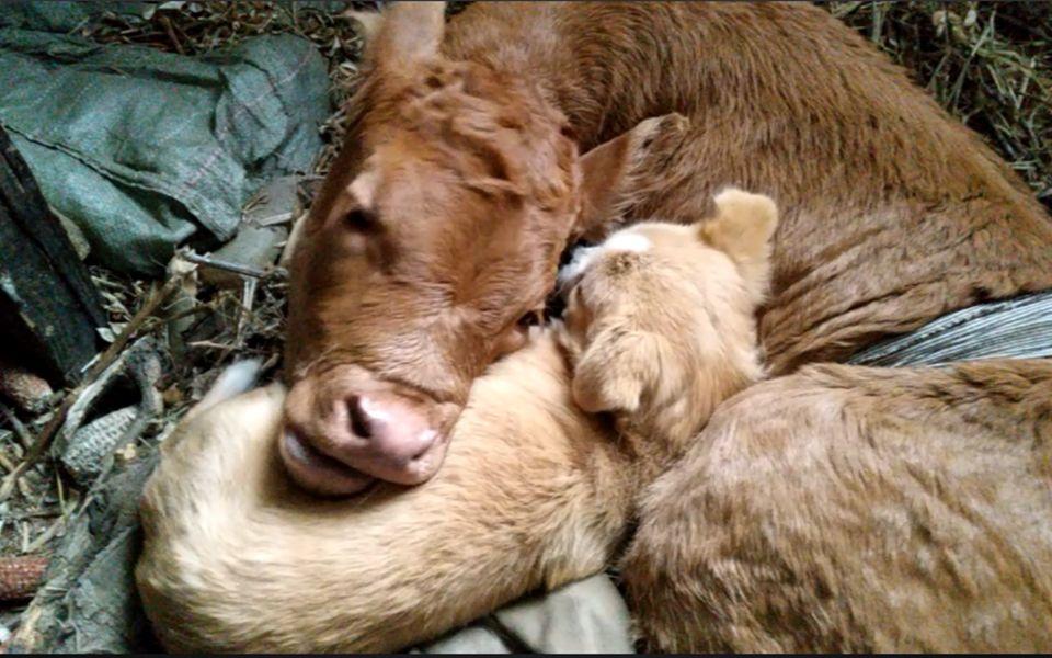 【B站养牛】小牛出生后几个小时,终于可以去吃奶了,牛妈妈终于可以放心了!