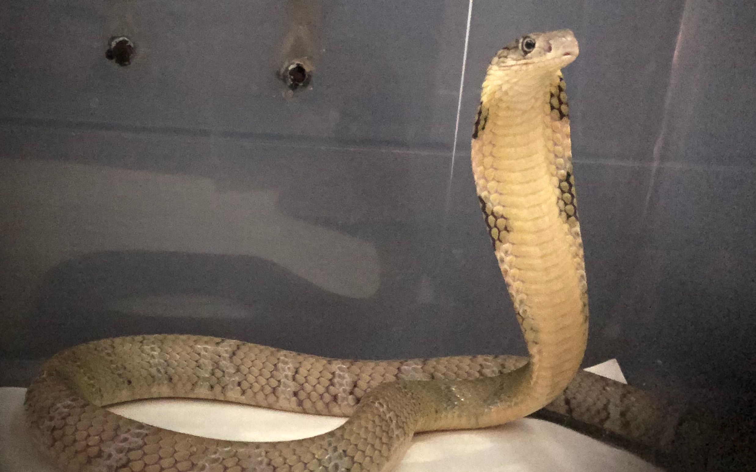 七米巨型眼镜王蛇图片