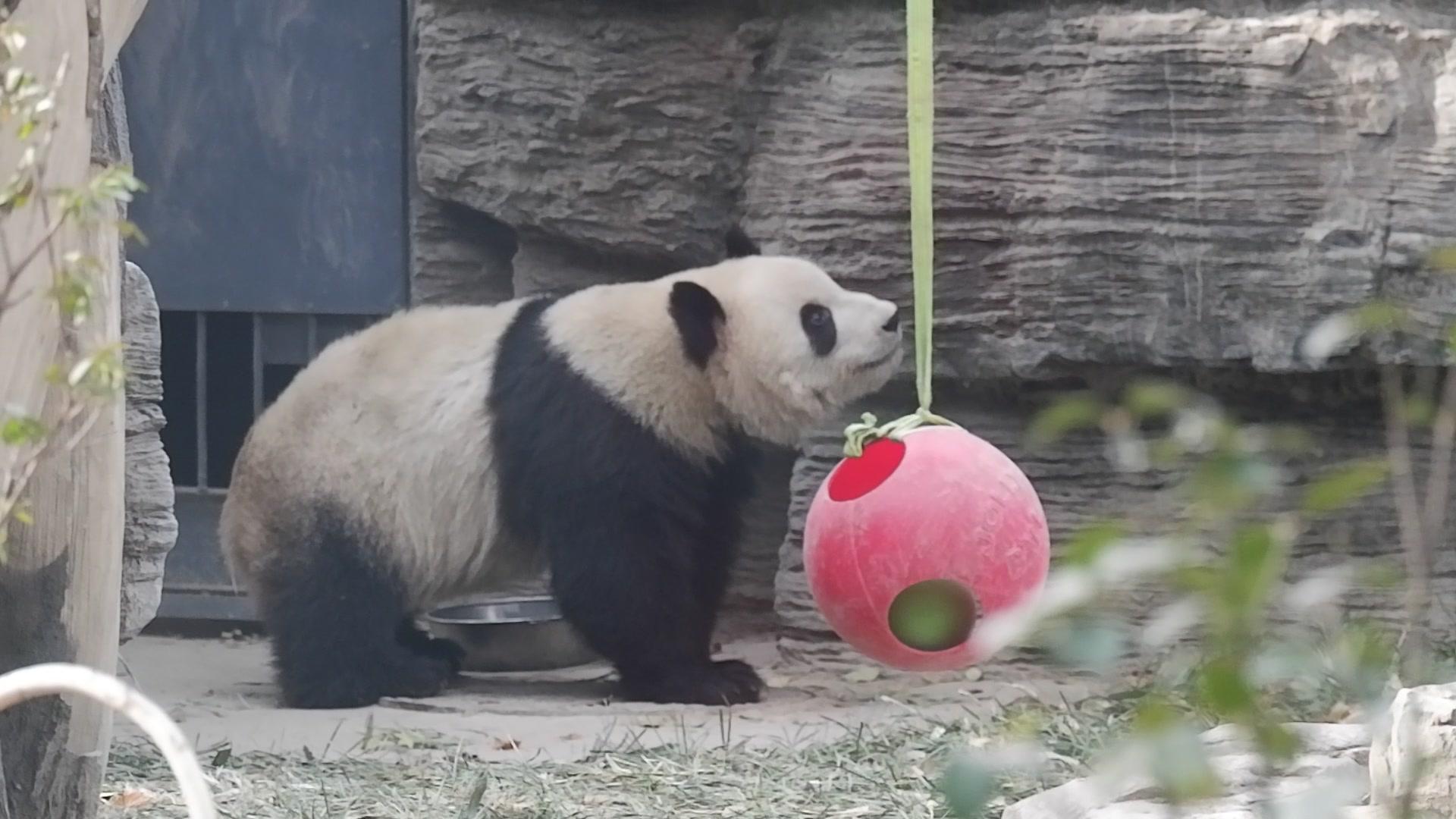 大熊猫萌萌和萌兰