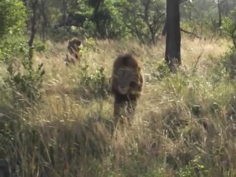 坏男孩雄狮联盟_南非萨比森mapogo坏男孩雄狮联盟巡视领地
