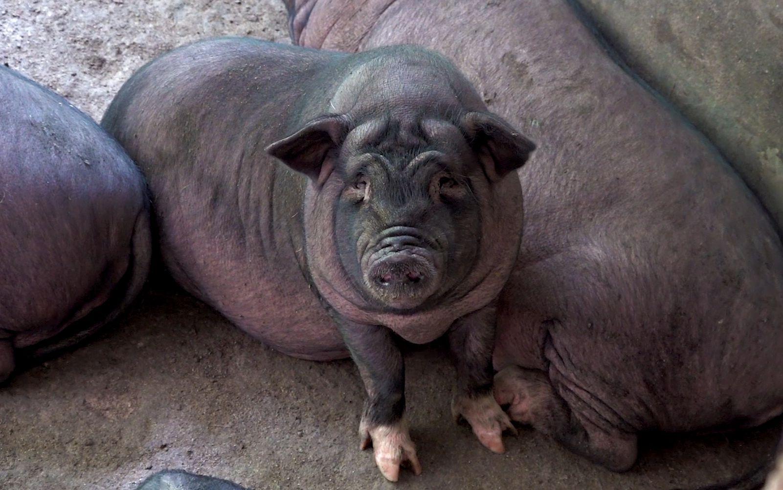 华农兄弟:去兄弟家看一下我们以前养的香猪,已经肥的不成样了