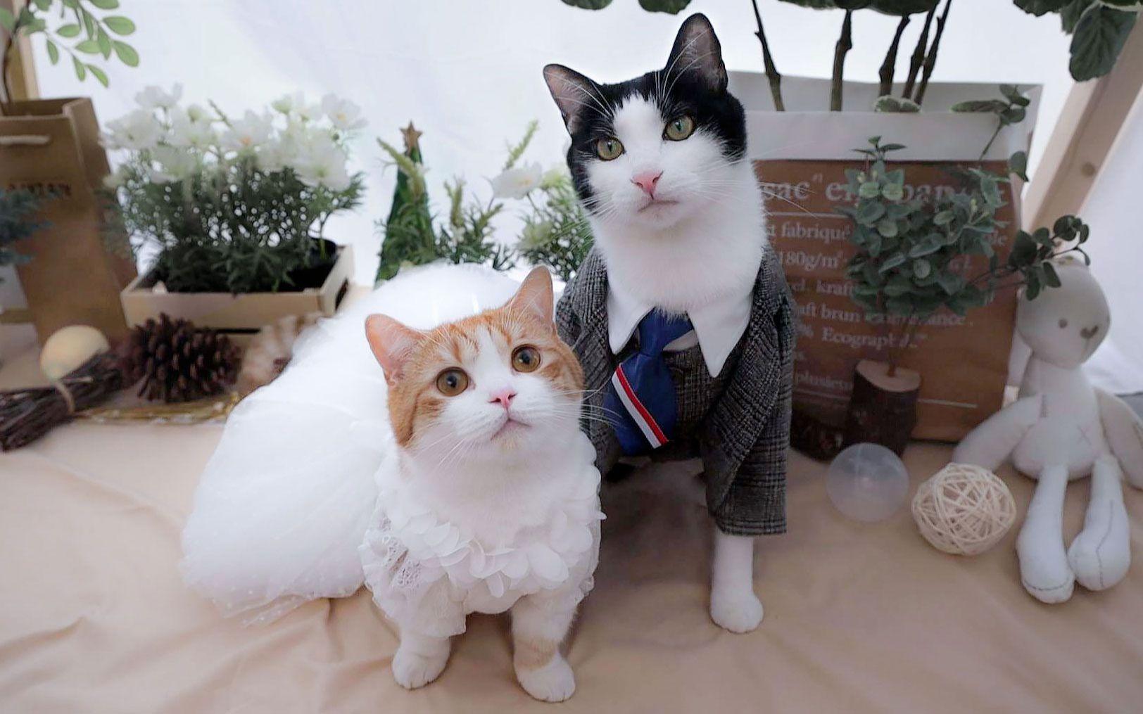 B站最甜猫咪CP,终于结婚了,铲屎官现场泪崩!