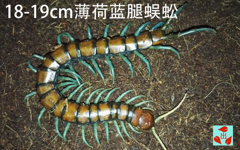 薄荷蓝腿蜈蚣:手指粗的蜈蚣,你怕了吗?