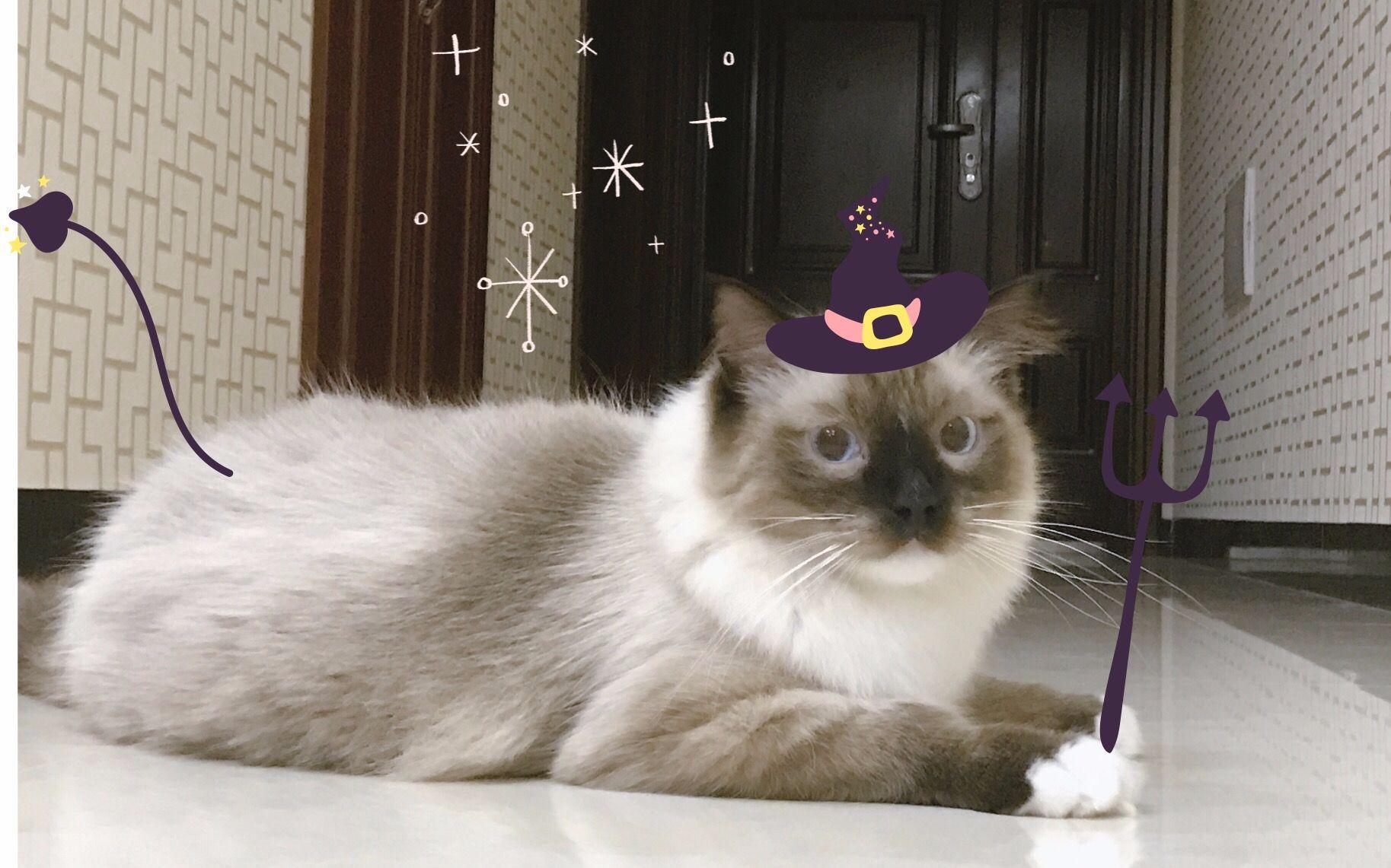 【猛男布偶猫】猫是猫只是猫全都是猫图片