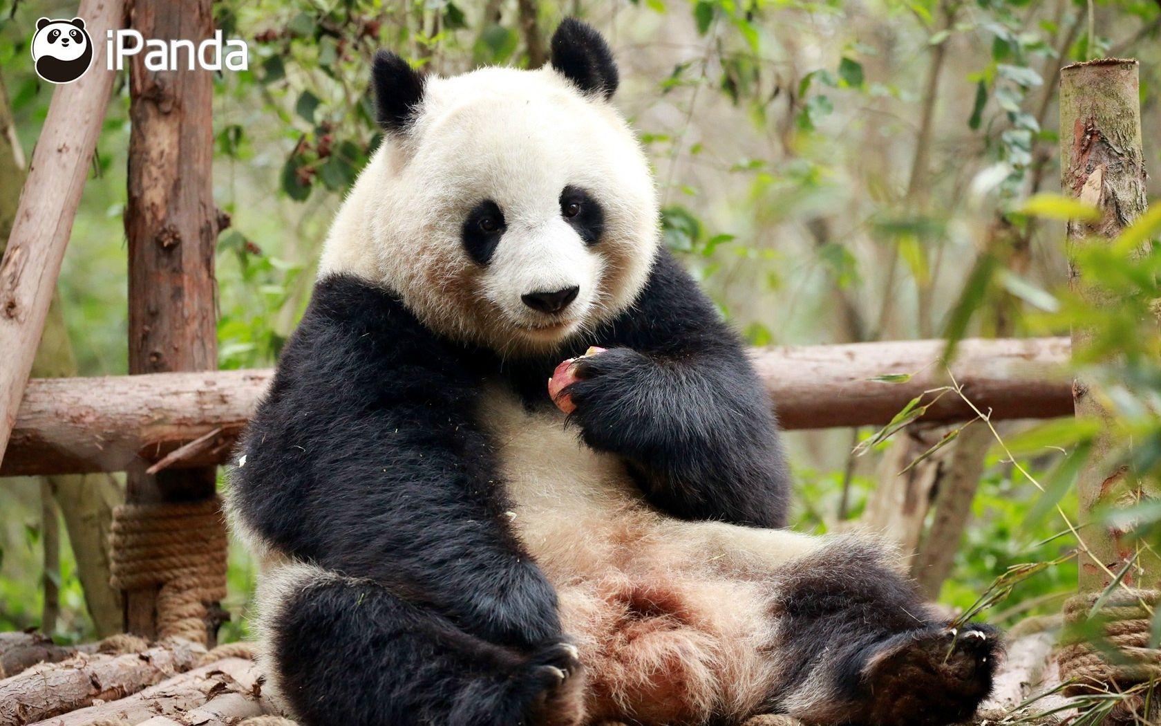 壁纸 大熊猫 动物 1680_1050