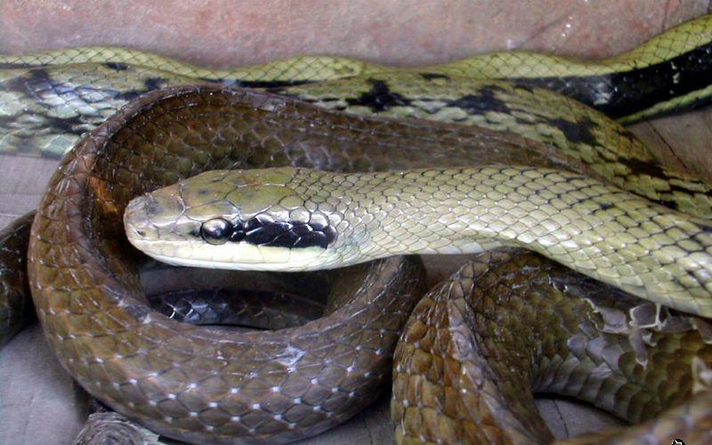 做梦梦见蛇_昨天晚上做梦 梦见两条蛇 很粗的追着要咬我!