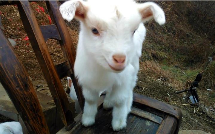 我家的小羊羔刚出生几天呼吸急促,站不起来是怎么回事图片