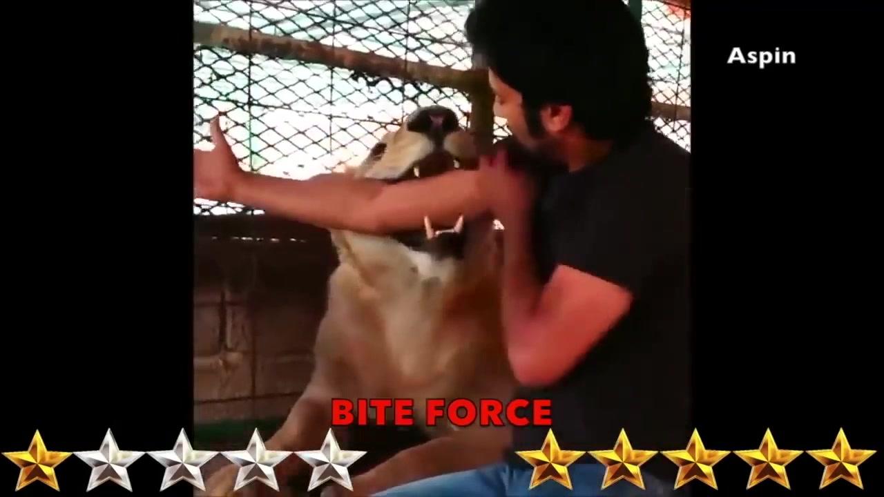 见过敢和狮子打架的狗吗?美国恶霸犬VS狮子!