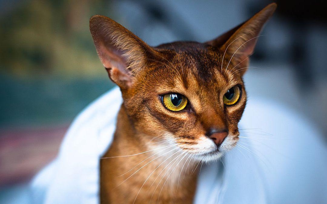 传说中古埃及神猫的后裔,受万民爱戴,流口水赞叹帅阿比