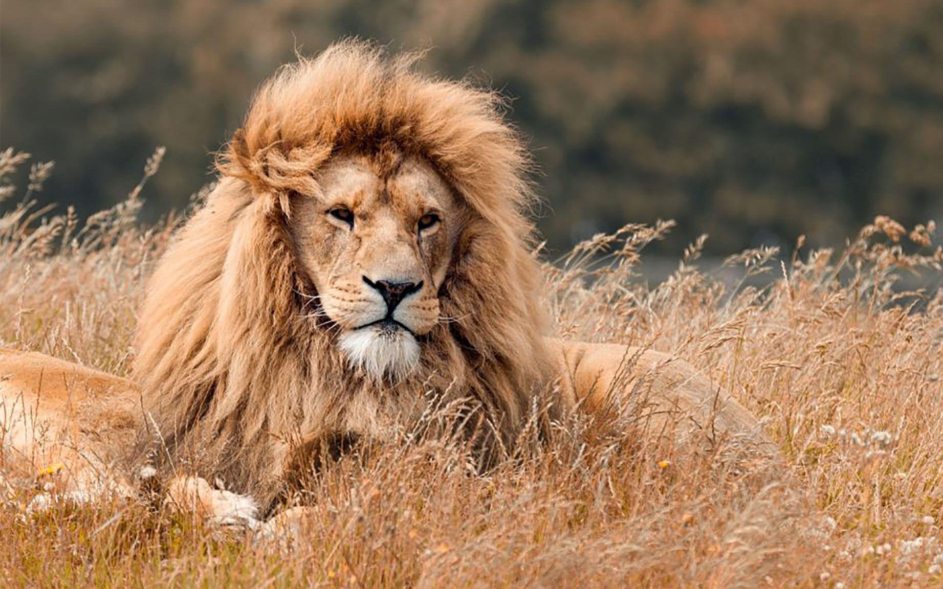 国家地理简单介绍狮子