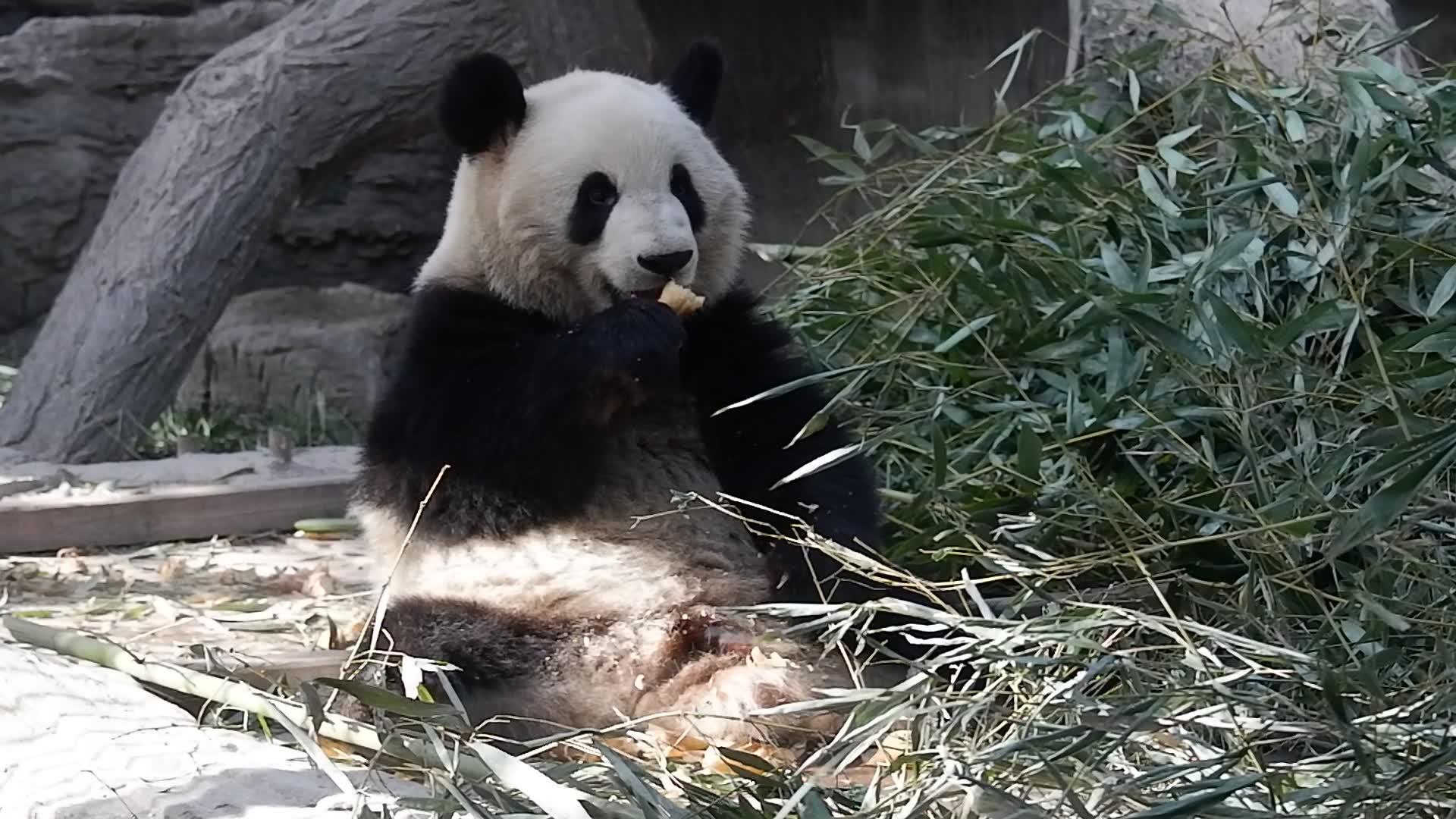 大熊猫萌兰么么下午茶吃笋咯还要一手一个