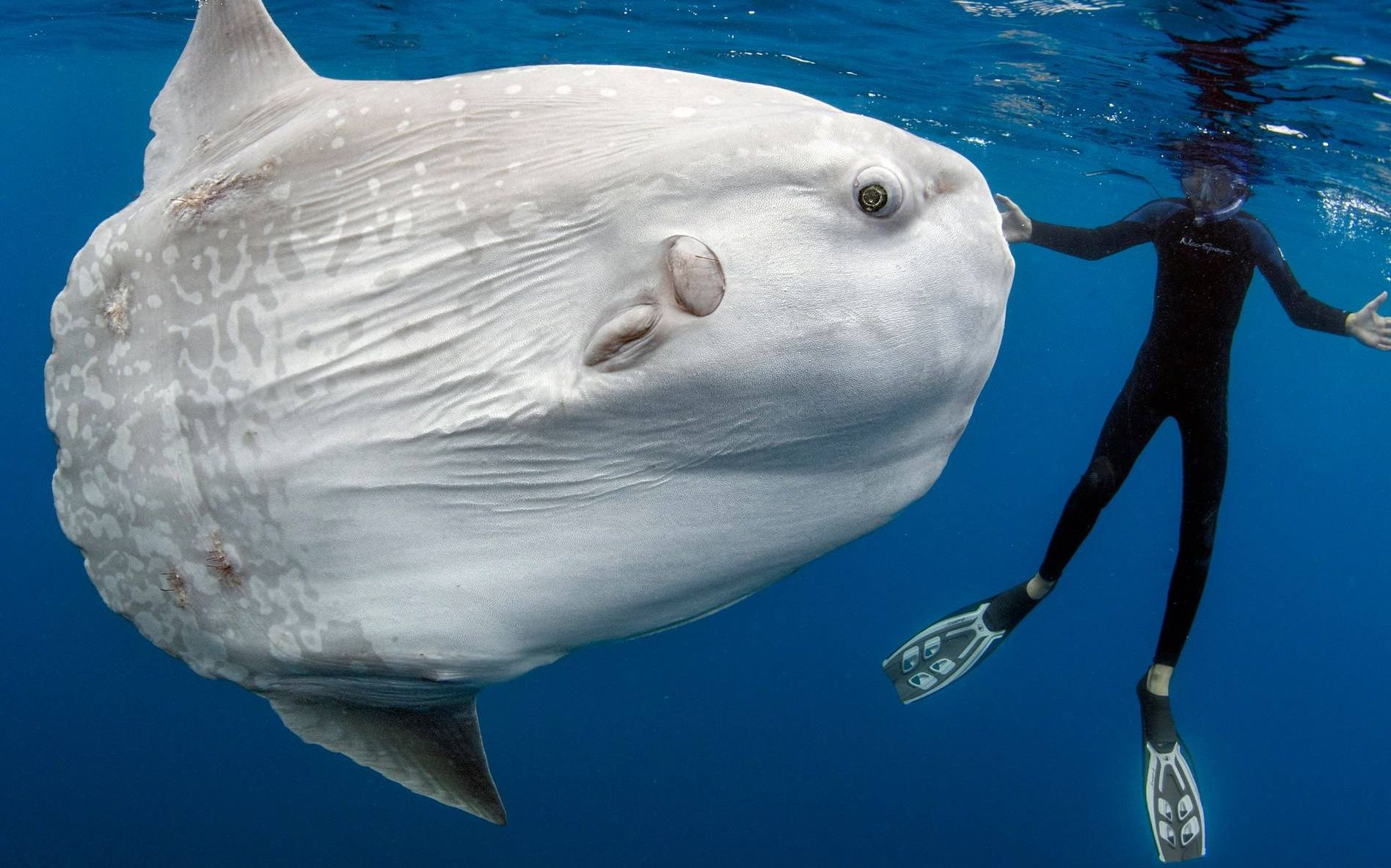 海钓偶遇大型翻车鱼,它一发力船就会翻了