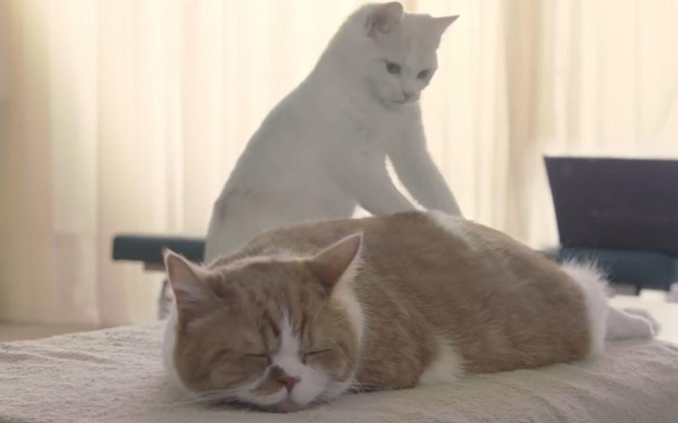 震惊!日本的猫咪按摩所(好啦,我知道猫咪挺萌的……)