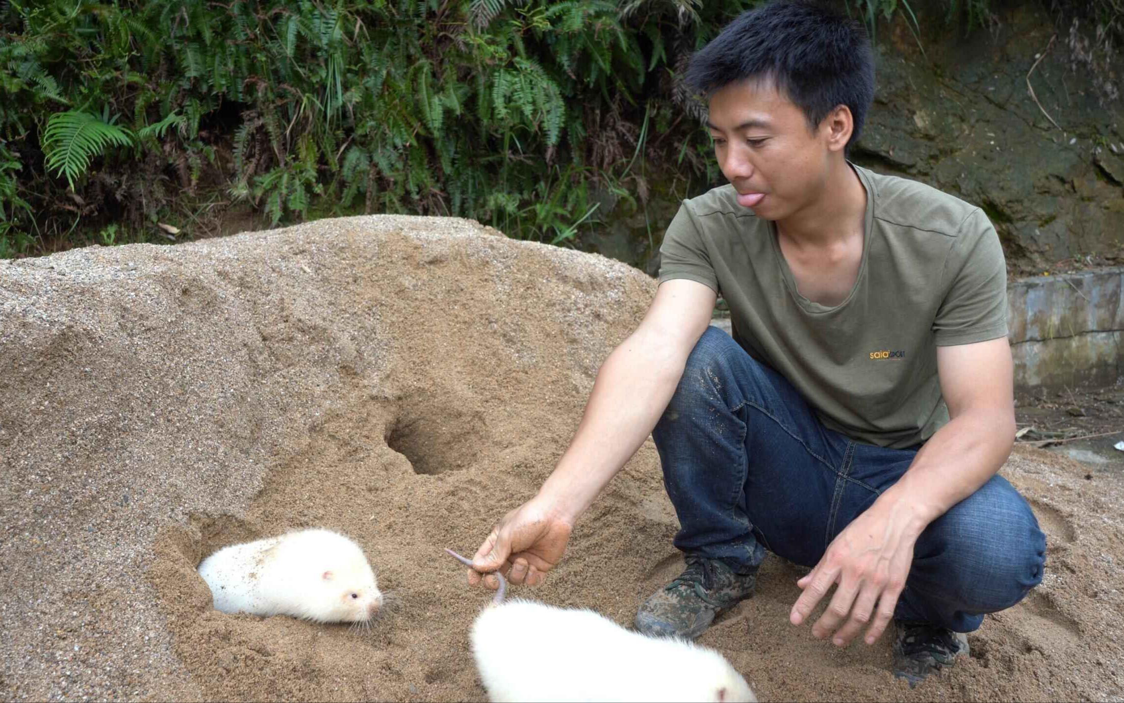 华农兄弟:带这两只白竹鼠到沙子上玩一下,给它们降降温