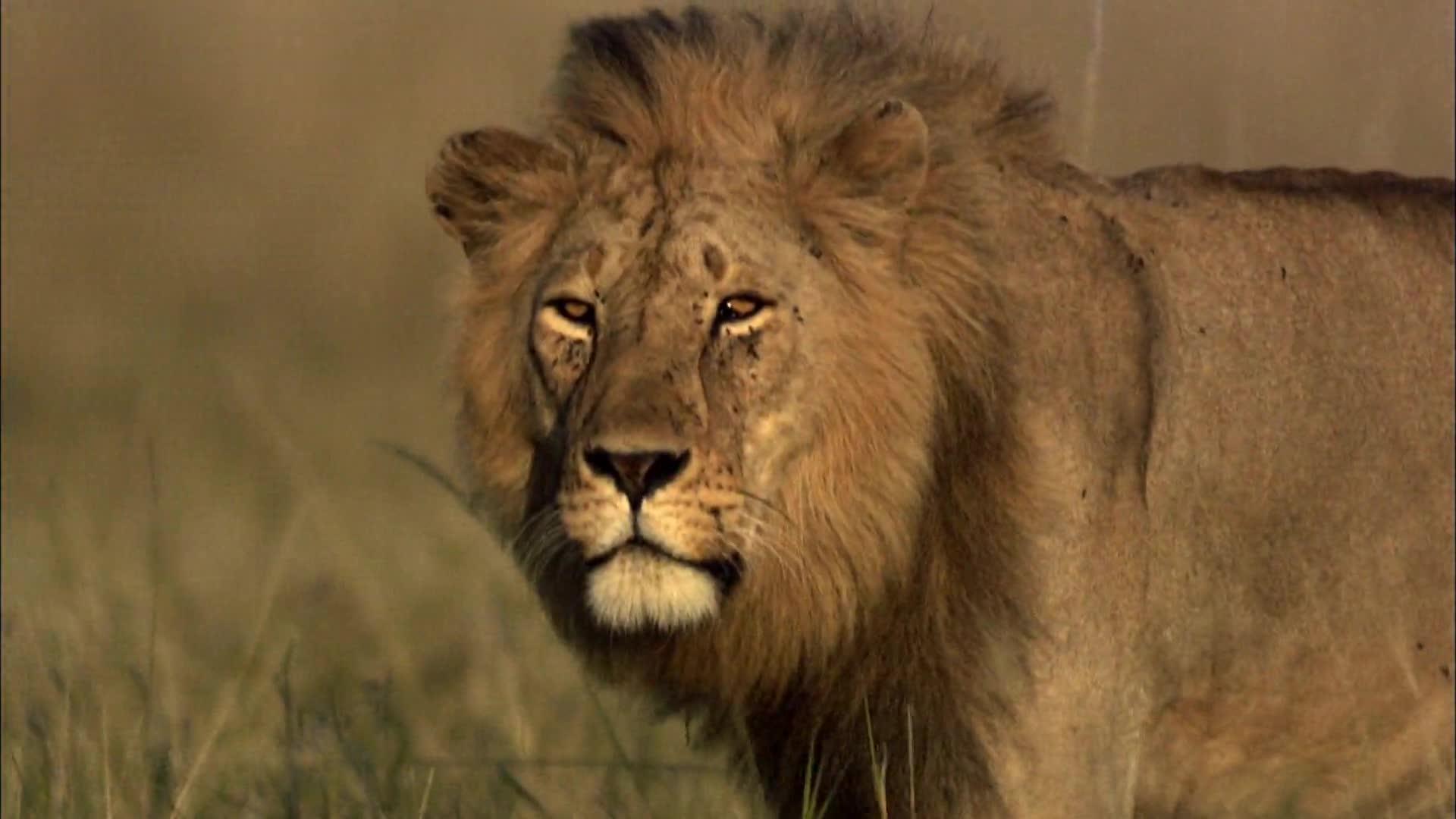 热带大草原上的生活 大型猫科动物