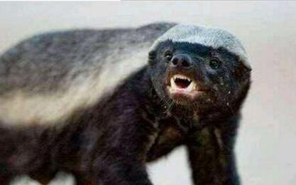 平头哥蜜獾纹身怎么样,纹哪里比较好看图片