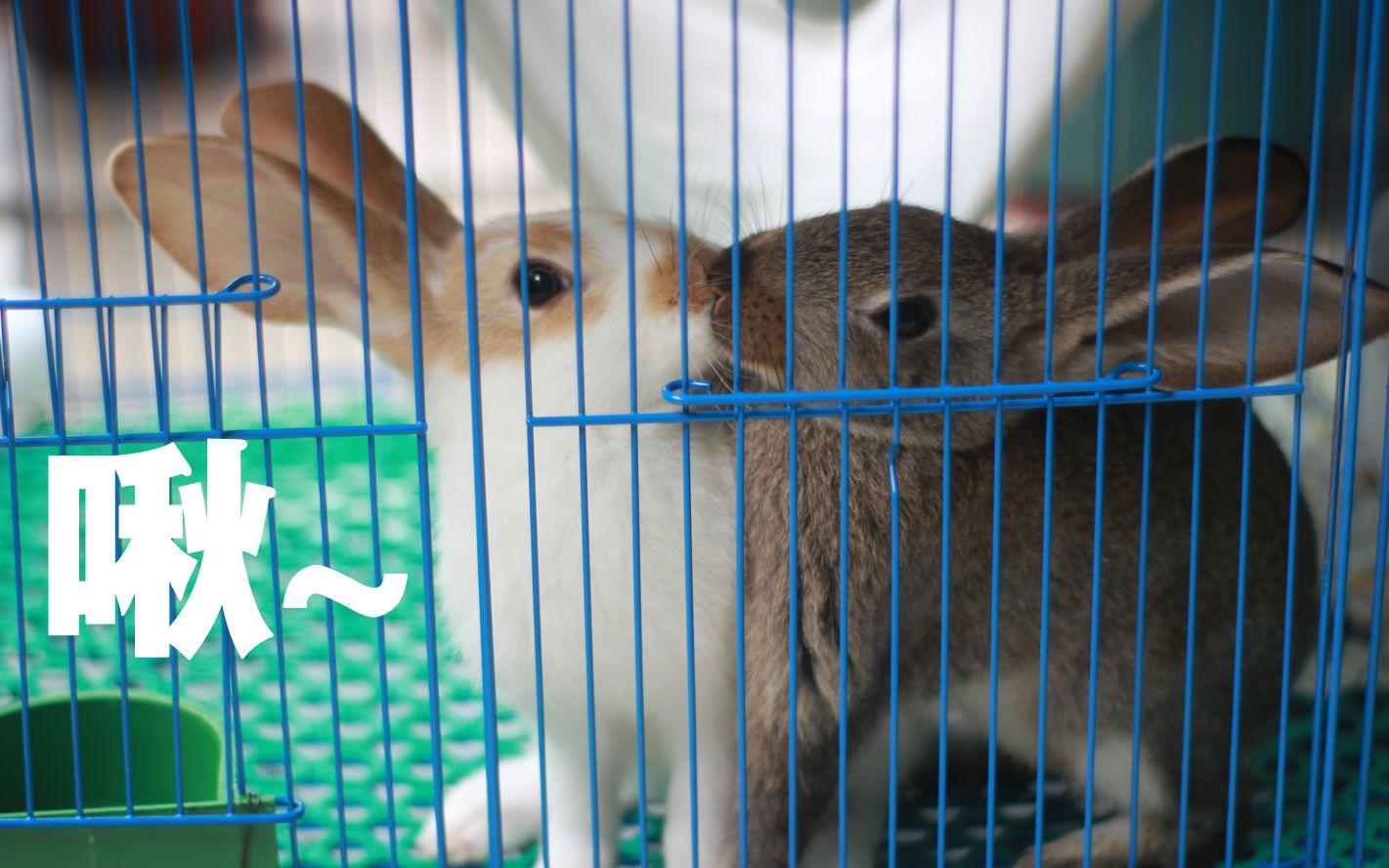 【花生芝麻の日常】养了两只拆家兔是什么感受