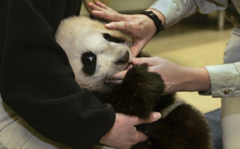 俄罗斯想要把大熊猫带回家,网友却说:俄罗斯人不行!