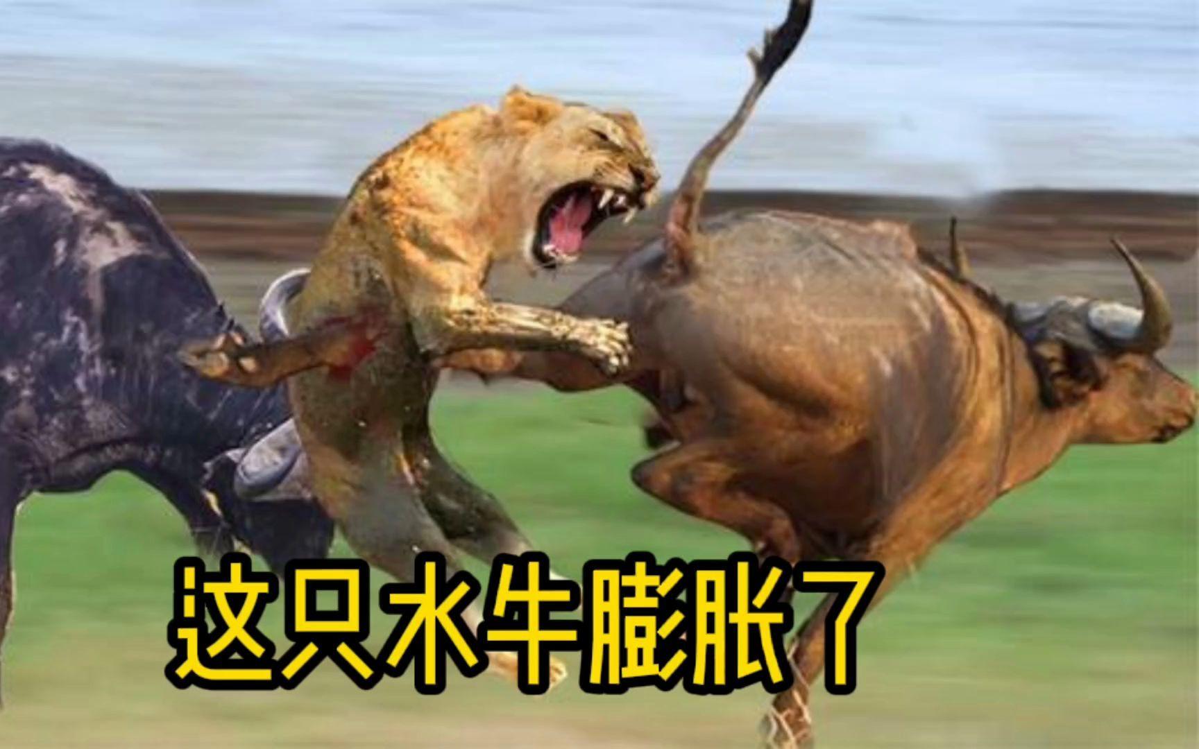 这头水牛发疯了,将十几头狮子追的四处逃窜