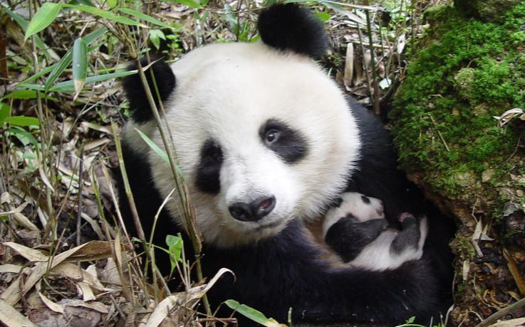 野生大熊猫妈妈和幼崽(特别篇)强烈推荐,野外工作者详细追踪讲解