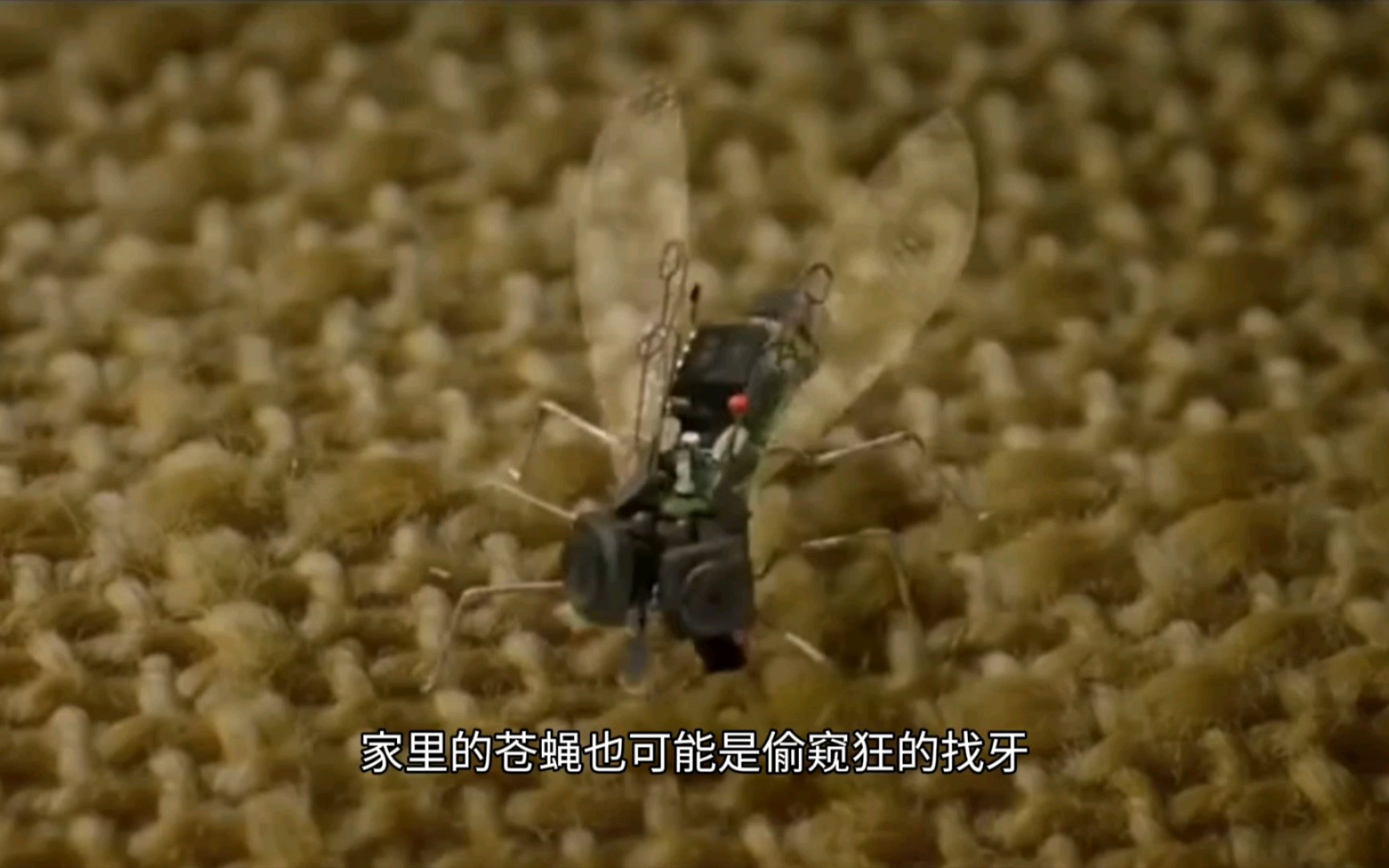 《苍蝇的眼睛》家,也不一定是安全的!赶紧看看你家有这种苍蝇吗