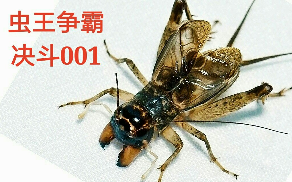 蟋蟀论坛虫王图片_中华蟋蟀虫王图片图片展示_中华蟋蟀虫王图片相关图片下载