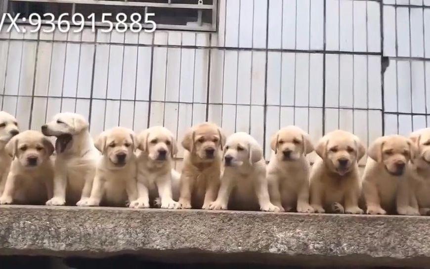 深圳罗湖区宠物狗价格一群可爱的纯种拉布拉多幼犬聪明吗北京哪里有吗纯种导盲犬拉布拉多幼犬的北京宠物狗价格的购房德国地方成都宠物狗疫苗价格