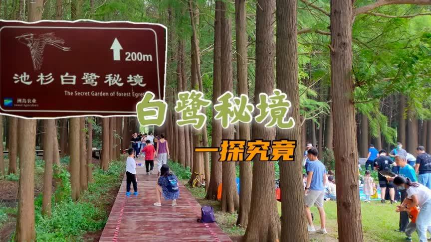 南京江心洲的池杉白鹭秘境,从小众景点变为网红地,我来一探究竟