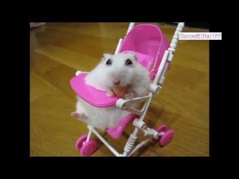 最有意思的仓鼠意外事件,失败动画集·超可爱#2_哔哩哔哩 (゜-゜)つロ 干杯~-bilibili